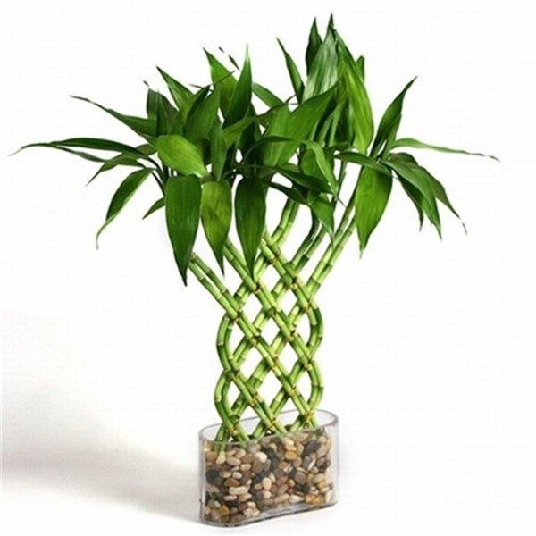Бамбук во что сажать